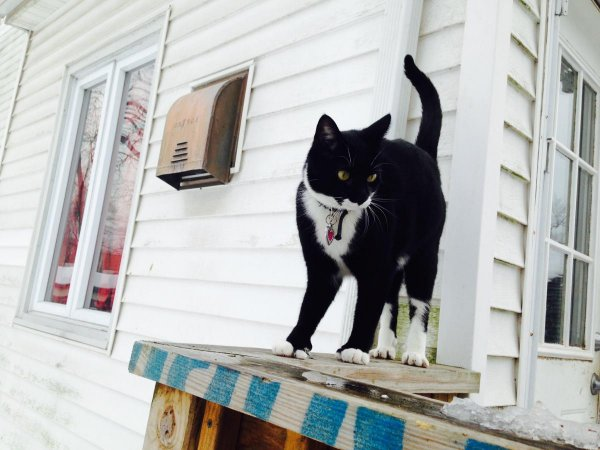 Lost Domestic Short Hair in Somerset, NJ US