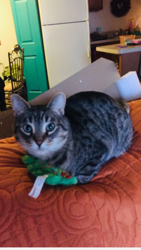 Lost American Shorthair in Frankfort, MI US