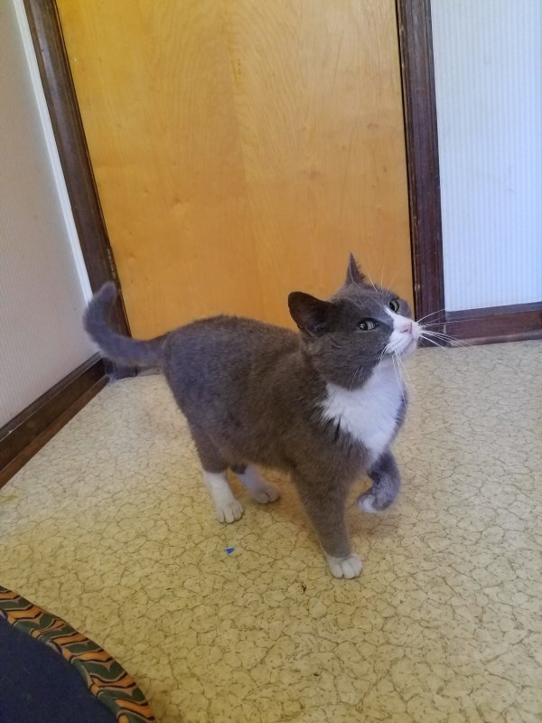 Found Domestic Short Hair in Denton, MD US