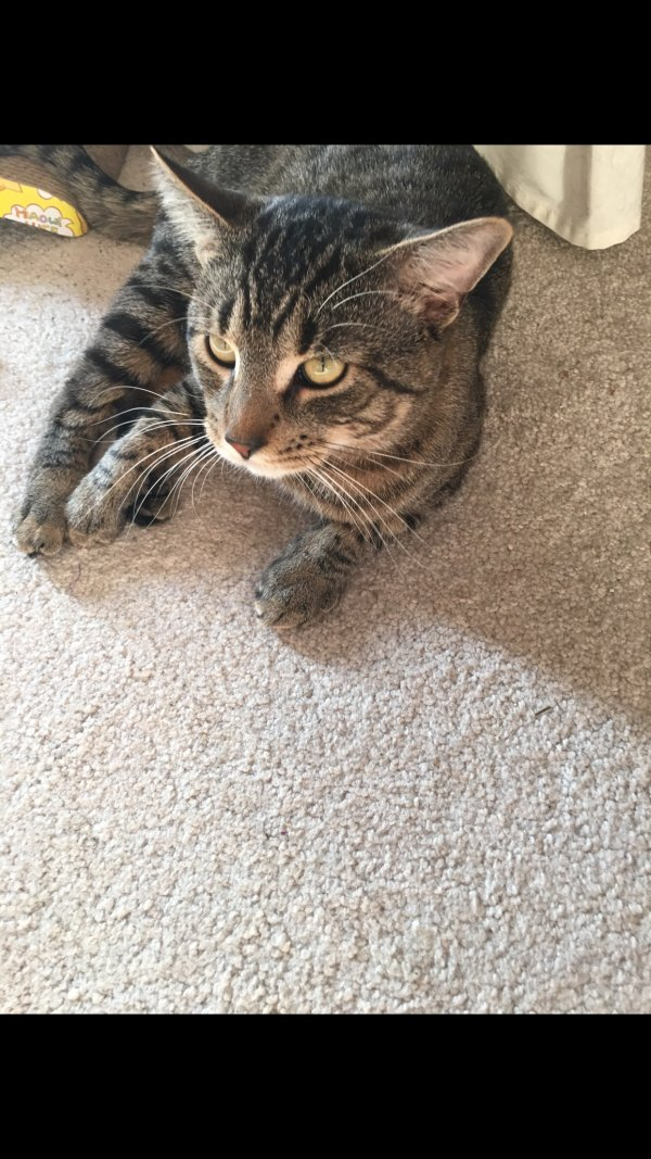 Safe Domestic Short Hair in Margate City, NJ US
