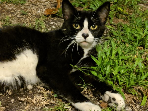 Safe Domestic Short Hair in Seminole, FL US