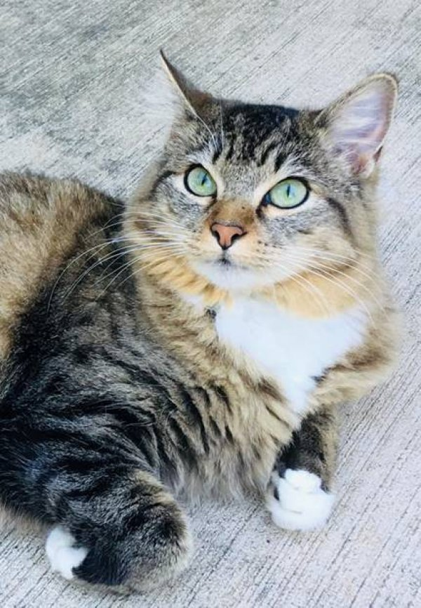 Safe American Shorthair in Richardson, TX US