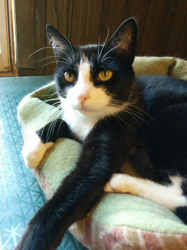 Safe American Shorthair in Pittston, PA US