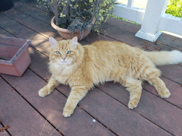 Lost Maine Coon in Lakeside, CA US