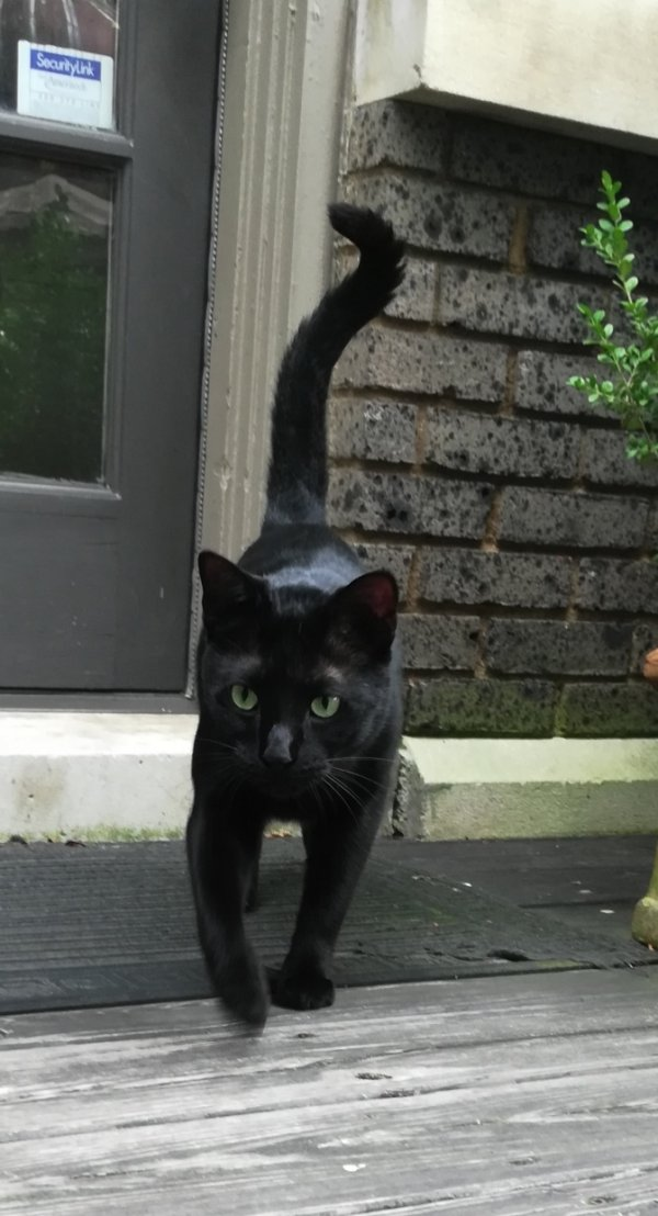 Found American Shorthair in Little Rock, AR US