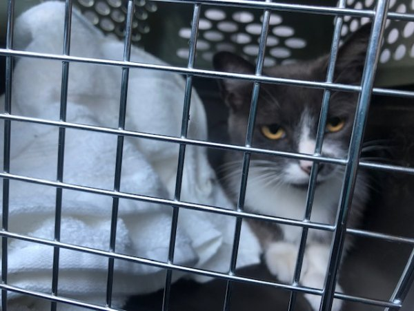 Safe American Shorthair in Venice, CA US