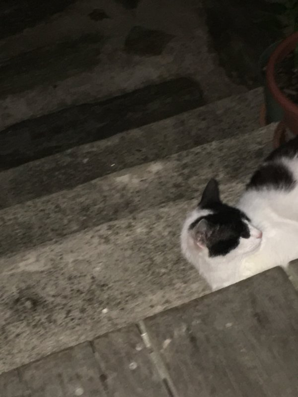 Found Domestic Short Hair in Philadelphia, PA US