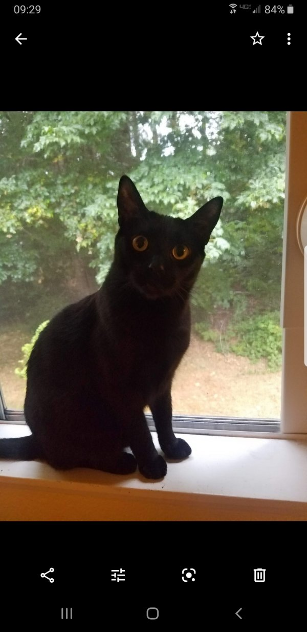 Safe Domestic Short Hair in Gig Harbor, WA US