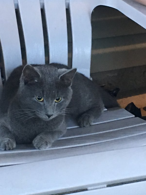 Found Domestic Short Hair in Shirley, NY US