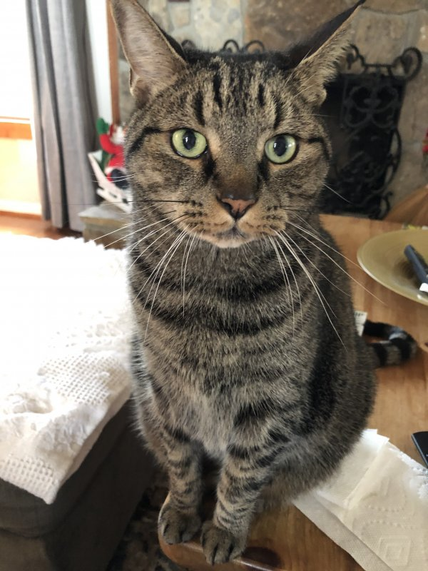Lost Domestic Short Hair in Marietta, GA US