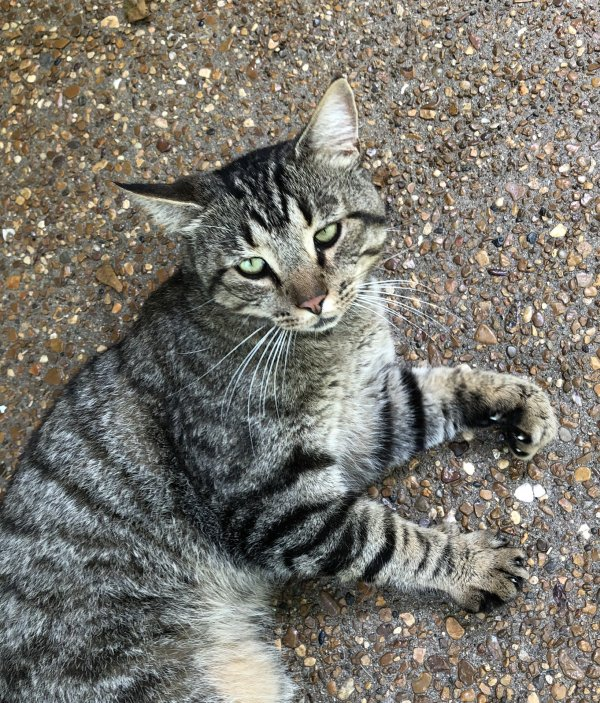 Found Domestic Short Hair in Goodlettsville, TN US