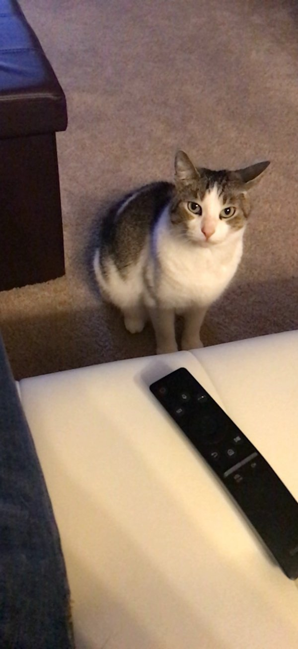 Lost American Shorthair in Newport, KY US