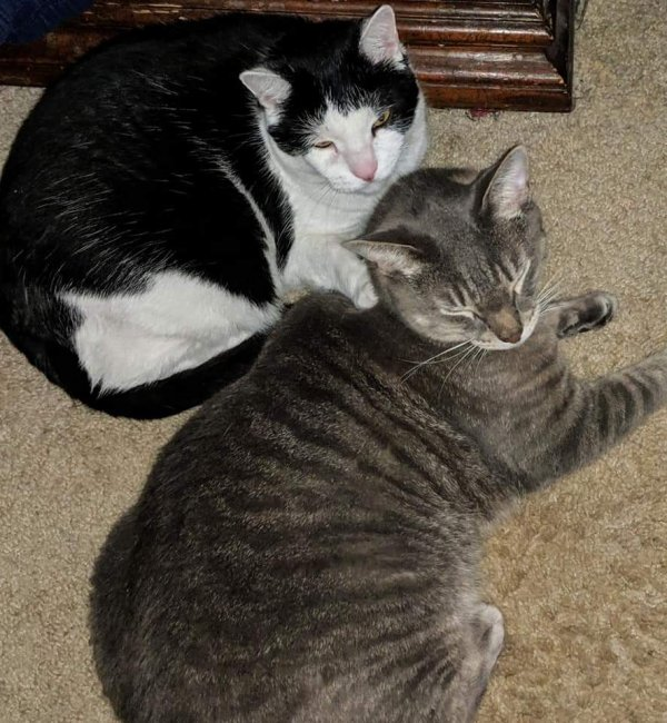 Safe American Shorthair in Toms River, NJ US