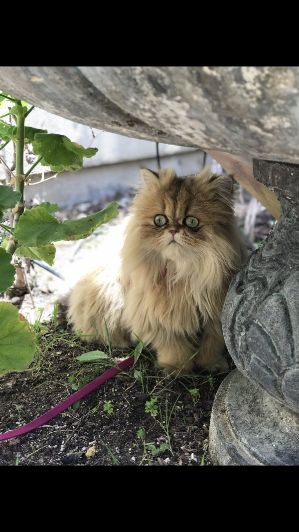 Lost Persian in Trabuco Canyon, CA US