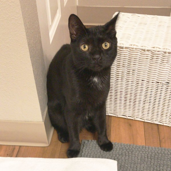 Safe Domestic Short Hair in Beaverton, OR US