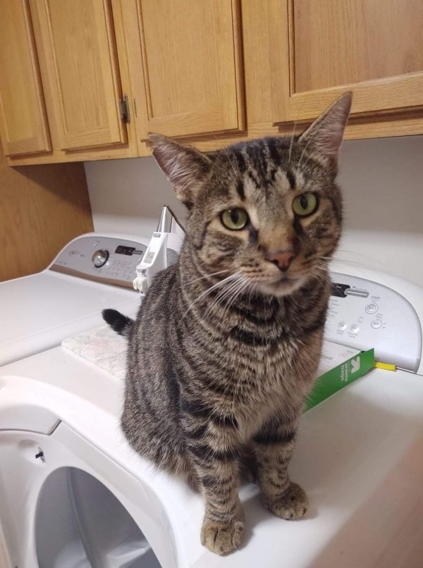 Lost Domestic Short Hair in Asheville, NC US