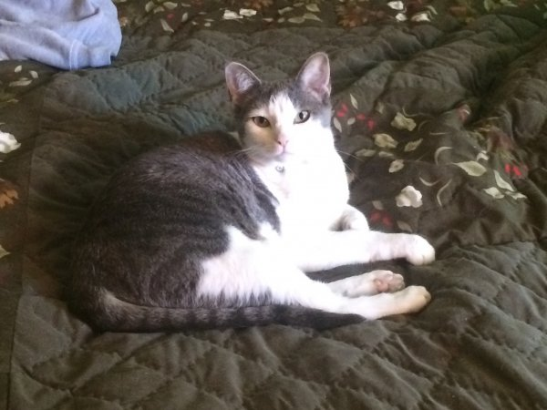 Lost Domestic Short Hair in Swanton, OH US