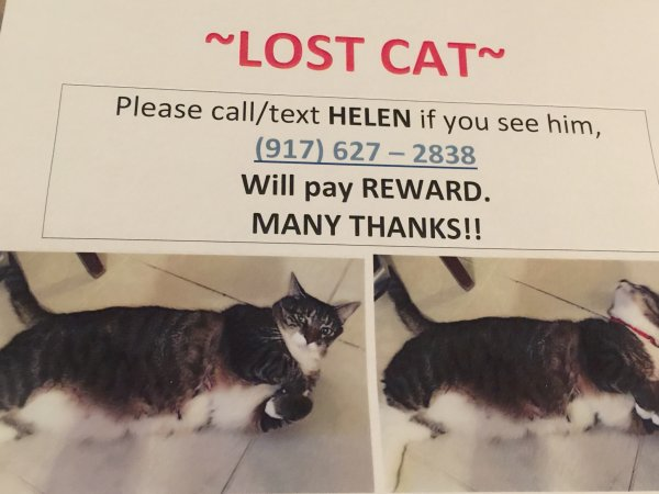Lost Cat in Staten Island, NY US