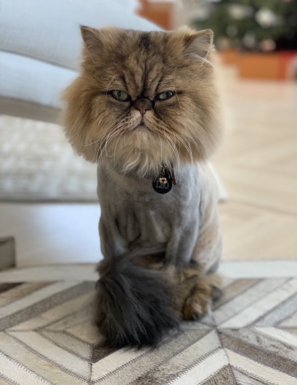 Lost Persian in Beverly Hills, CA US