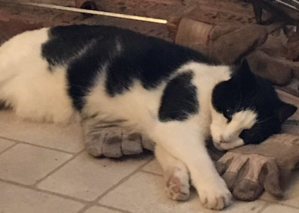 Lost Domestic Short Hair in Hadley, NY US