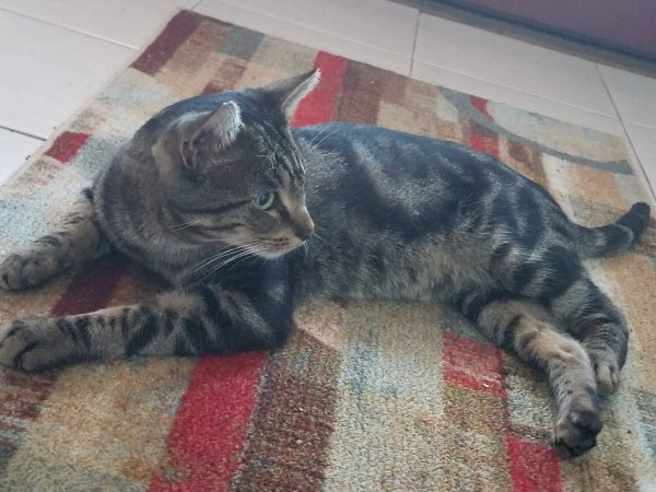 Found American Shorthair in Clifton, NJ US