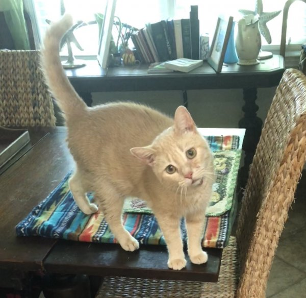 Safe American Shorthair in Mount Pleasant, SC US