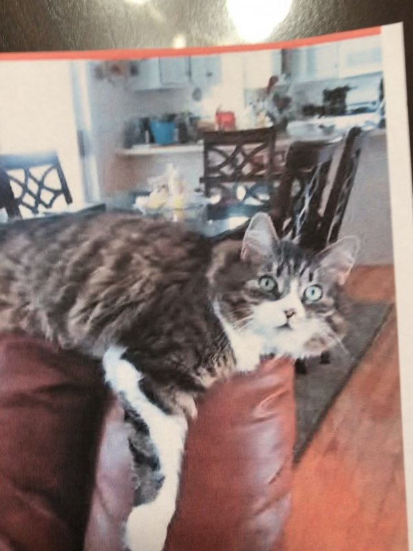 Lost Maine Coon in Nashua, NH US