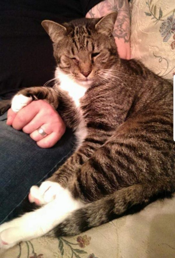 Lost American Shorthair in Sykesville, MD US