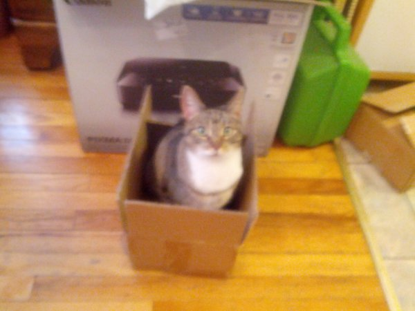 Lost American Shorthair in Susquehanna, PA US
