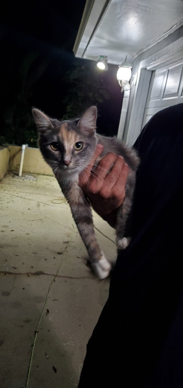 Found American Shorthair in New Port Richey, FL US