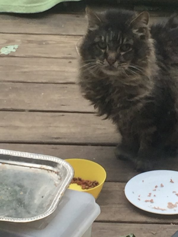 Found Maine Coon in Kennebunk, ME US