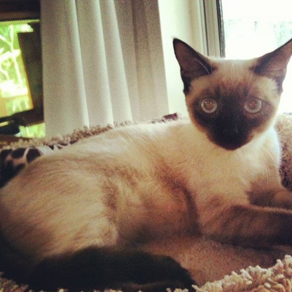 Lost Siamese in New Port Richey, FL US