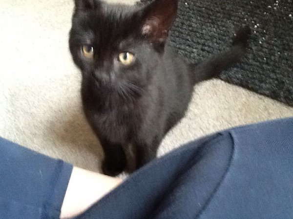 Found Domestic Short Hair in Moore, SC US