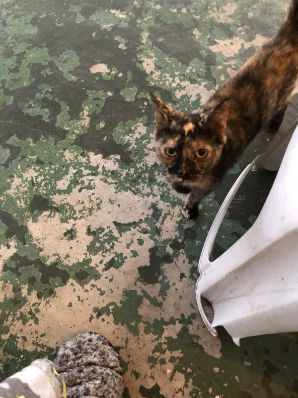 Found Domestic Short Hair in Jacksonville, FL US