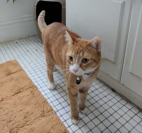 Safe American Shorthair in Richmond, VA US
