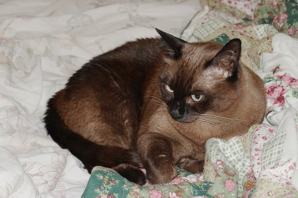 Lost Tonkinese in Boynton Beach, FL US