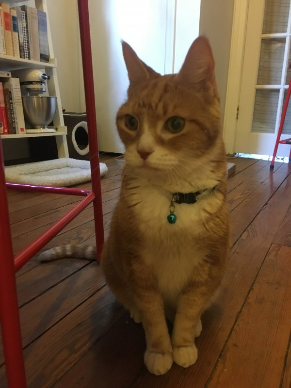 Found American Shorthair in Brooklyn, NY US