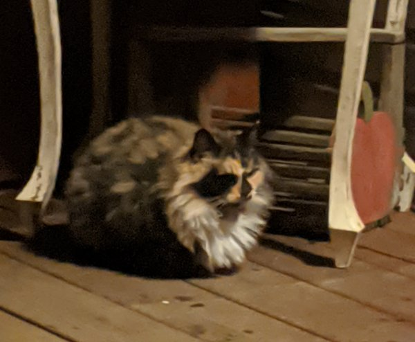 Found Cat in Amboy, WA US