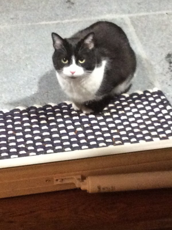 Found Domestic Short Hair in Milford, CT US