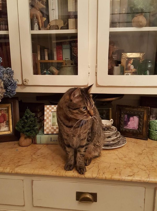 Safe American Shorthair in Redding, CT US