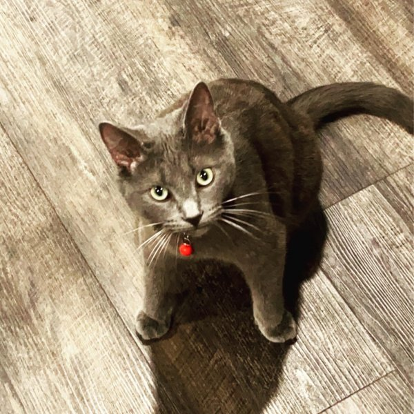 Lost American Shorthair in Manchester, OH US