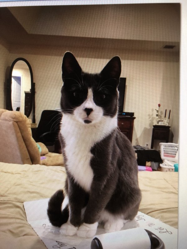Lost Domestic Short Hair in Dudley, MA US