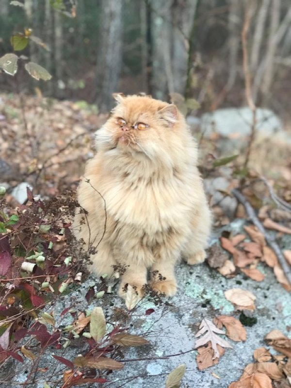 Lost Persian in Cross River, NY US