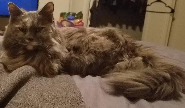 Lost Domestic Long Hair in Lorain, OH US