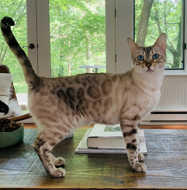 Lost Bengal cat in Ghent, NY US