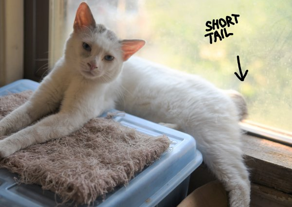 Lost Domestic Short Hair in Jamaica Plain, MA US
