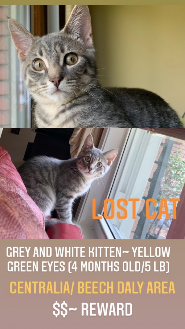 Lost American Shorthair in Dearborn Heights, MI US