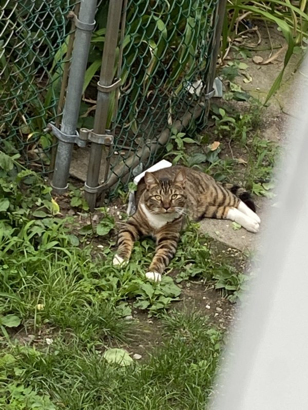 Found Domestic Short Hair in Malden, MA US