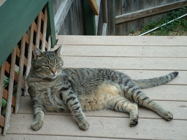 Lost Domestic Short Hair in Winchendon, MA US