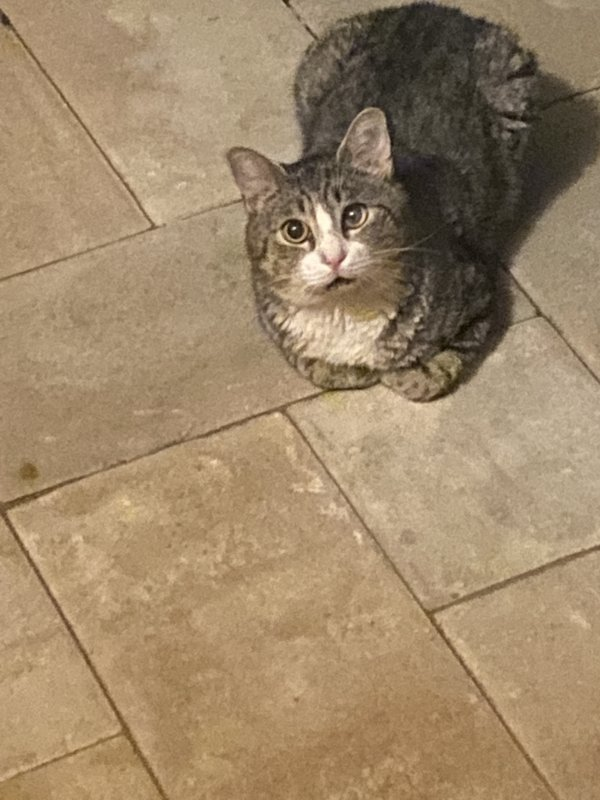 Found Cat in Manhasset, NY US